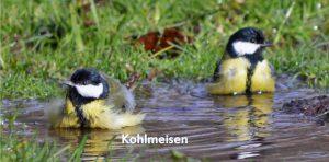Kohlmeisen, Foto Bettina Freund